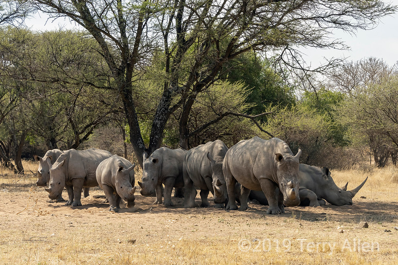 Seven white rhino and two tick birds,  getting up from a rest in the shade, Mabula, South Africa