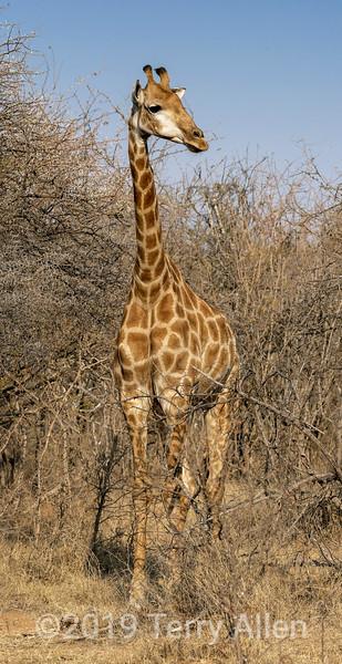 Full length Maasai giraffe in the bush, Mabula, South Africa