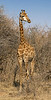 Full length Maasai giraffe in the bush, Mabula, South Africa