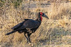 Southern ground hornbill in the tall golden grassess, Mabula Ground Hornbill Project, South Africa