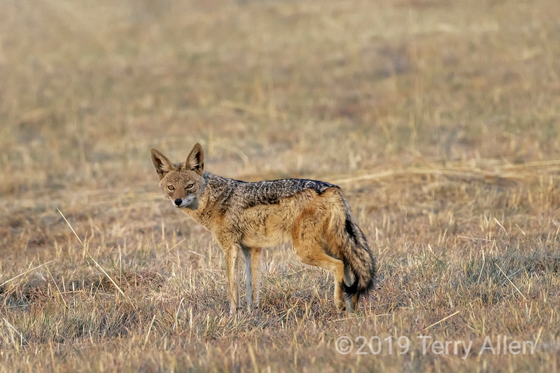 Black-backed jackal (Canis mesomelas) in a golden field of grass, Mabula, South Africa