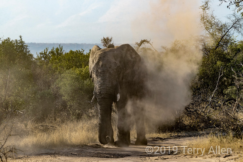 Aggressive male elephant blowing dirt, Mabula, South Africa