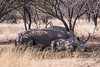 Mother white rhino calf resting in the shade next to its mother, Mabila, South Africa