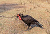 Male Southern ground hornbill (Bucorvus leadbeateri) searching for food,, Mabula Ground Hornbill Project, South Africa