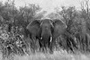Elephant with big ears spread emerging from the bush, B&W, Mabula, South Africa