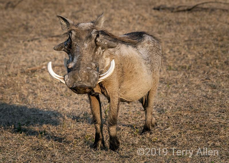 Large old warthog (Phacochoerus africanus) with large tusks and warts near sunset, Mabula, South Africa