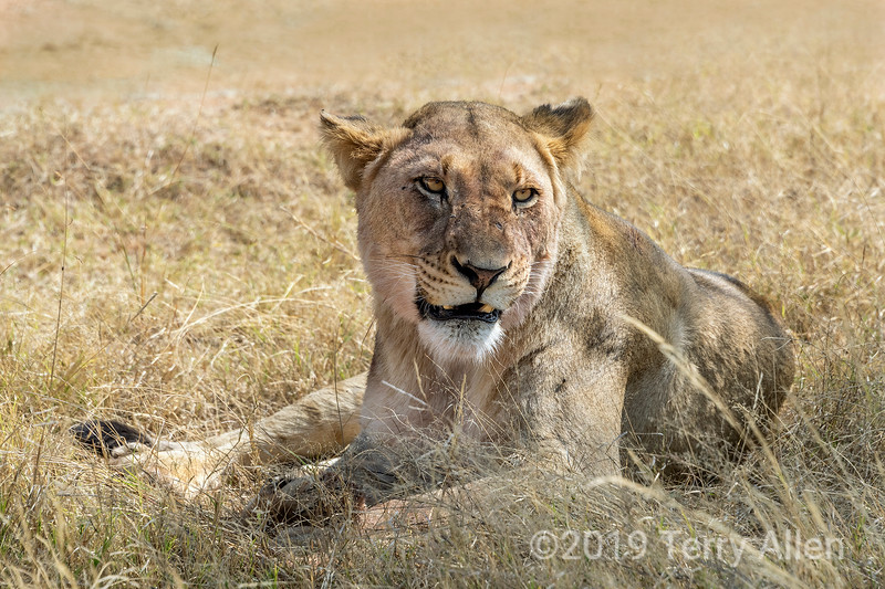 Lioness resting in the dried grasses, Mabula, South Africa