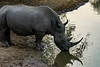 Thirsty rhino