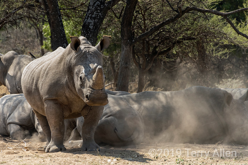 Large dehorned white rhino raising a cloud of dust as it stands up, Mabula, South Africa