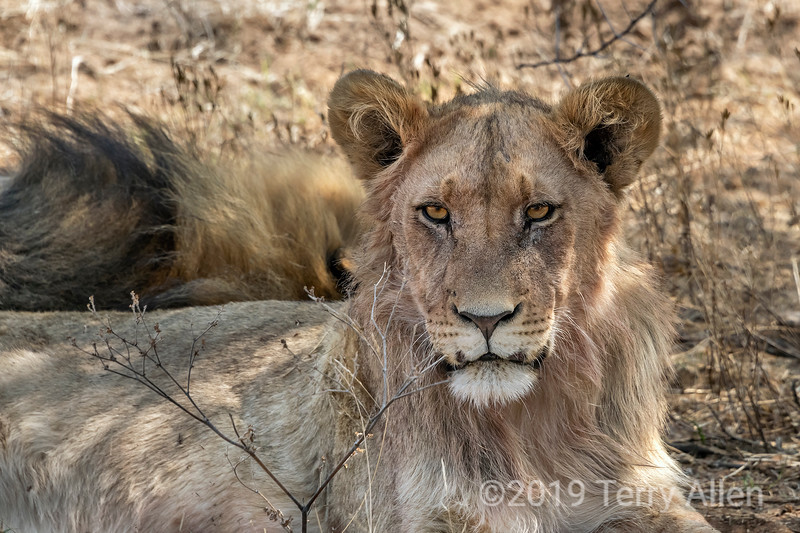 Young male lion with older male sleeping in the background, Mabula, South Africa