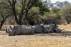 Crash of four white rhinos, one partially dehorned, lying in the shade, Mabula, South Africa