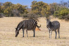 Pregnant (quary) zebra with older colt grazing on dried grass, Mabula, South Africa