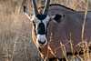 Close-up of a male gemsbok (Oryx gazella) in the late day light, Mabula, South Africa
