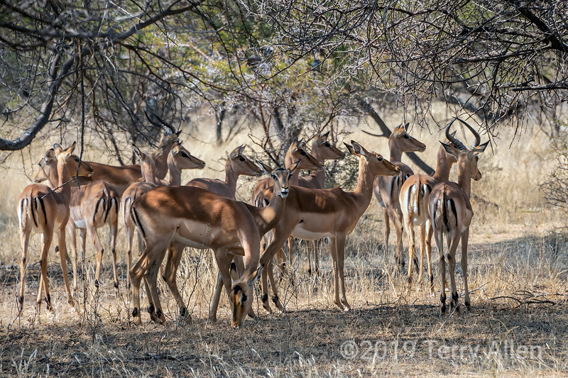 Herd of female impalas and one male trying to figure where the danger is, Mabula, South Africa