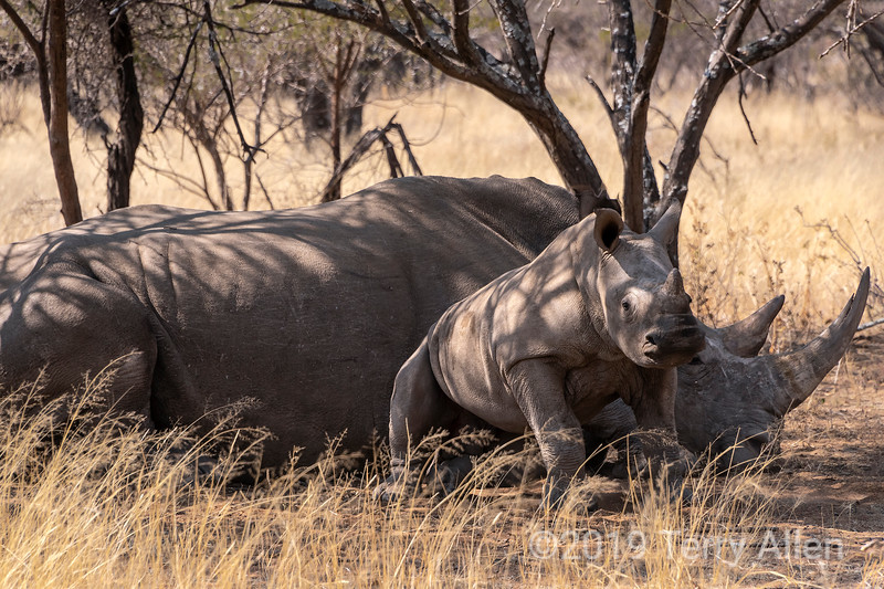 Nap time is over, white rhino calf gets up from mother's side, Mabula, South Africa