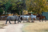 White rhino (Ceratotherium simum) walking by a horse stables, Mabula, South Africa