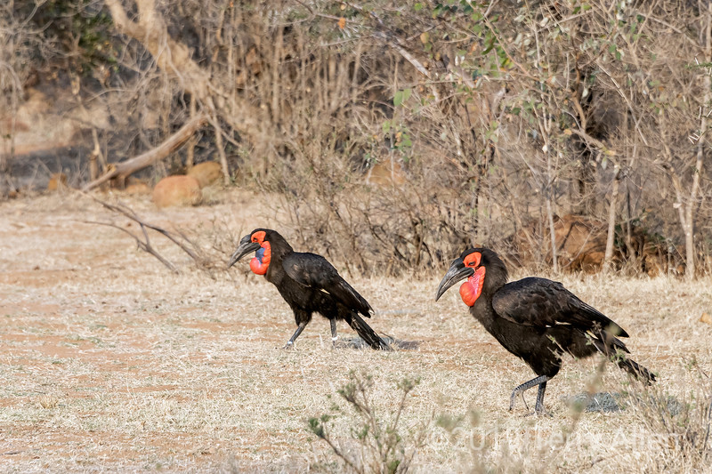 Male and female Southern ground hornbills, Mabla Ground Hornbill Project, South Africa