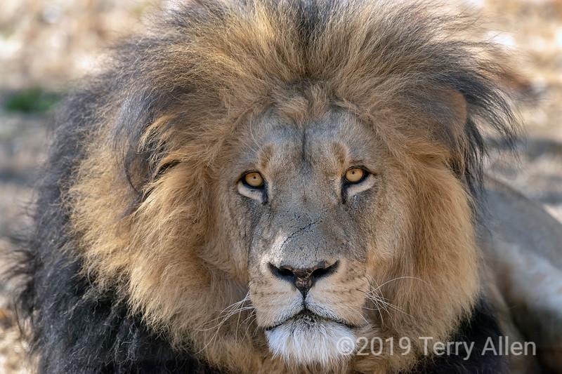 Black-maned lion close-up, Puruma Pride, South Africa