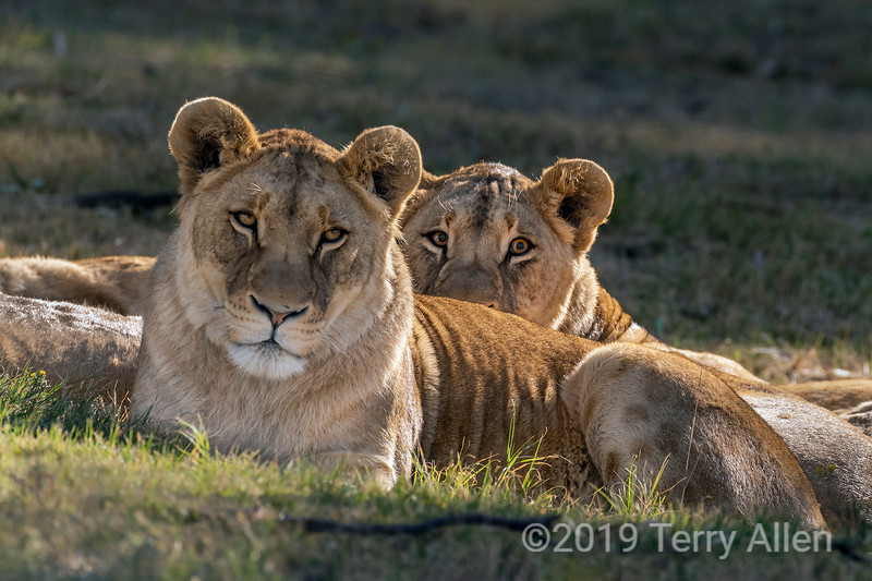 Lionesses staring down the camera, Puruma Pride, South Africa