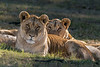 Lionesses staring down the camera, Puruma Pride, South Africa
