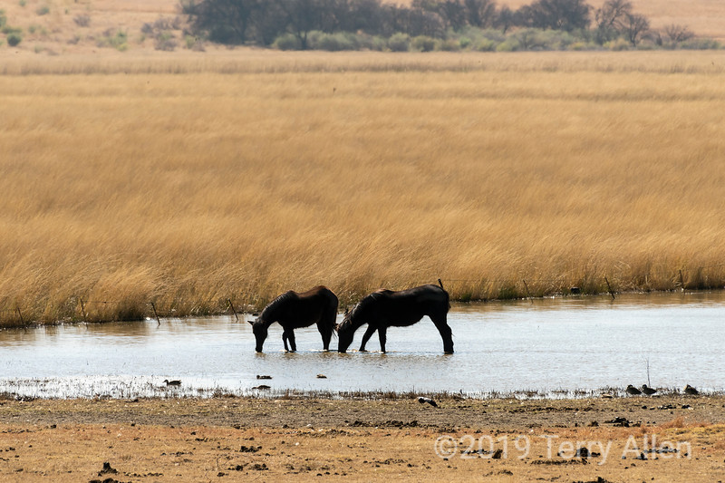 Hoses and ducks feeding in a pond, near Viljoenskroon, Free State, South Africa