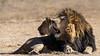 Black-maned lion and mate, Puruma Pride Lion Park, South Africa