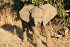 Baby_El;ephant_MalaMala_2019_South_Africa_0040