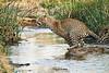 Jumping_Leopard_MalaMala_2019_South_Africa_0009