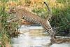 Jumping_Leopard_MalaMala_2019_South_Africa_0012