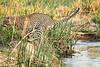 Jumping_Leopard_MalaMala_2019_South_Africa_0015