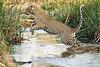 Jumping_Leopard_MalaMala_2019_South_Africa_0011