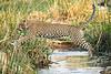 Jumping_Leopard_MalaMala_2019_South_Africa_0013