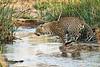 Jumping_Leopard_MalaMala_2019_South_Africa_0007