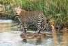Jumping_Leopard_MalaMala_2019_South_Africa_0006