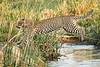 Jumping_Leopard_MalaMala_2019_South_Africa_0014