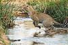 Jumping_Leopard_MalaMala_2019_South_Africa_0010