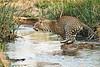 Jumping_Leopard_MalaMala_2019_South_Africa_0008