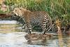 Jumping_Leopard_MalaMala_2019_South_Africa_0003
