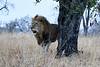Lions_MalaMala_2019_South_Africa_0003