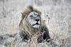 Lions_MalaMala_2019_South_Africa_0004