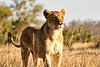 Lions_MalaMala_2019_South_Africa_0045