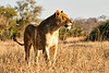 Lions_MalaMala_2019_South_Africa_0043