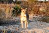 Lions_MalaMala_2019_South_Africa_0051