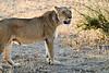 Lions_MalaMala_2019_South_Africa_0042