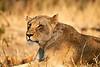 Lions_MalaMala_2019_South_Africa_0046
