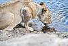 Lions_MalaMala_2019_South_Africa_0014