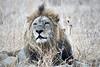Lions_MalaMala_2019_South_Africa_0005