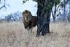 Lions_MalaMala_2019_South_Africa_0002