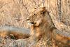 Lions_MalaMala_2019_South_Africa_0001