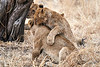 Older_Lion_Cubs_Tree_MalaMala_2019_South_Africa_0005